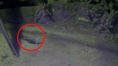 Puma na podwórku. Kamera przed domem nagrała coś zaskakującego