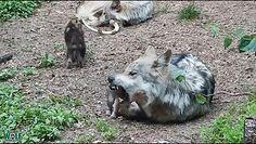 Basior z małymi. Nagranie z legowiska wilków meksykańskich