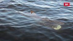 Inwazja rekinów w Wielkiej Brytanii. Naukowcy ostrzegają