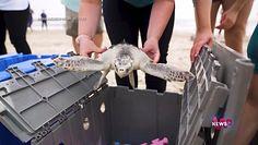 Sukces ekologów z USA. Kolejne z dotkniętych atakiem zimy  żółwi wróciły na wolność