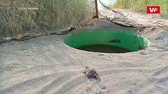 Nowo wyklute żółwiki. Pomogą w uratowaniu swojego gatunku przed wyginięciem