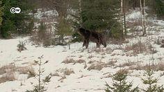 Przeżył atak niedźwiedzia. Cudem uszedł z życiem