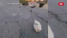 Niecodzienny spacer. Nie uwierzysz, jak wyprowadzają tego psa