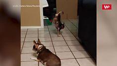 Pies akrobata. Mały chihuahua zawstydził wszystkich