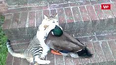 Kot kontra kaczka. Przezabawne nagranie podbija internet