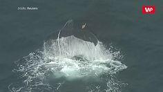 Na ratunek wielorybowi. Akcja w Australii