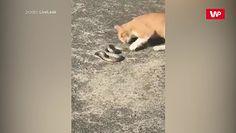 Kot kontra wąż. Zobaczcie, jak to się skończyło