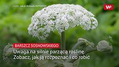 Barszcz Sosnowskiego. Uwaga na silnie parzącą roślinę