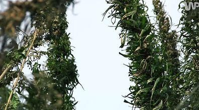Wygląda jak marihuana, nawet tak pachnie. Konopią obsadzono prawie 100 hektarów