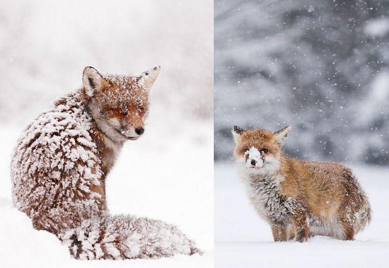 Lisy w śniegu stały się hitem sieci