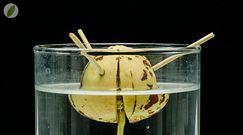 Jak rośnie drzewko awokado w 60 dni? Niezwykłe nagranie ukazujące piękno natury