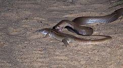 Jaszczurka kontra jadowity wąż. Niezwykłe nagranie z safari