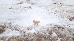 Zaginiony pies w Arktyce. Niecodzienna akcja rosyjskiego lodołamacza