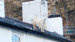 Zobacz, gdzie weszły te kozy. Kuriozalne nagranie z północy Walii