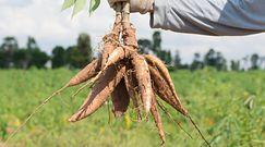 Maniok. Egzotyczne warzywo w twojej kuchni