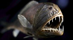 Czarne ryby. Skóra tych gatunków z dna oceanu jest 20 razy ciemniejsza od czarnych przedmiotów