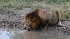 Lwy nie mają tutaj wstępu. Mały żółw dzielnie broni swojej sadzawki
