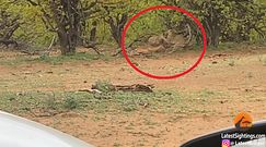 Walka hieny i lamparta o impalę. Niezwykłe nagranie z afrykańskiej sawanny