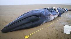Próbowali ratować młodego wieloryba