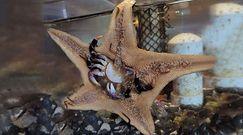Drapieżna rozgwiazda morska. Lepiej nie być jej ofiarą