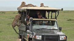 Oko w oko z gepardami. Przerażające nagranie z safari