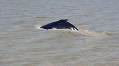 Humbaki w rzece aligatorów. Morskie olbrzymy zabłądziły