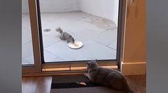 Kto powiedział, że kot nie pilnuje domu jak pies. Groźny kot przegania wiewiórkę