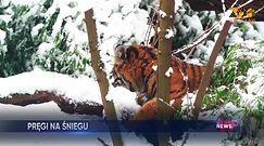 Tygrysica bawi się w śniegu. Nagranie z Wrocławia