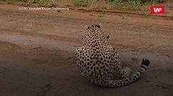 Gepard kontra antylopa. Brutalne polowanie uwiecznione na nagraniu