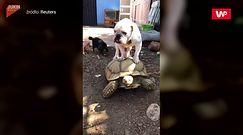 Pies jeździł na żółwiu. Nagranie z Kalifornii