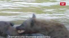 Starcie hien. Brutalna walka samców