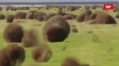 Setki kul przetoczyły się przez prerię. Unikalne nagranie z Kalifornii