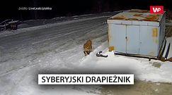 Tygrys we wsi. Policja ostrzega: nie wychodźcie z domu po zmroku