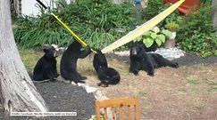 Niedźwiedzie przyłapane na gorącym uczynku