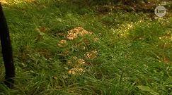 O czym należy pamiętać przy zbieraniu grzybów?