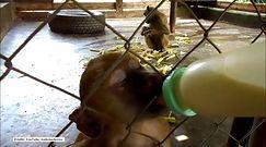 Osierocony pawian potrzebuje opieki jak małe dziecko
