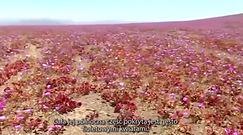 Dywan z kwiatów na pustyni Atacama