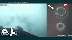 Polujące humbaki. Niesamowite nagranie z drona