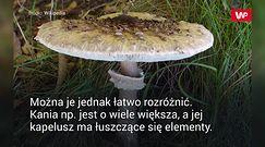 Zabójczo toksyczny. Można spotkać go w polskich lasach