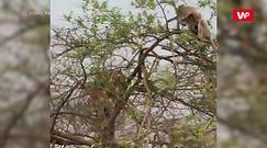 Małpa zrobiła tygrysa w konia. Nagranie świadka