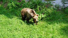 Niedźwiedź grasuje w Pieninach. Dyrekcja parku ostrzega turystów i apeluje