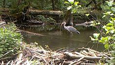 Czapla na polowaniu. Zaskakujące nagranie z Wigierskiego Parku Narodowego