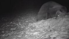 Zabawa na śniegu młodego niedźwiedzia. Niezwykłe nagranie z Bieszczad