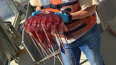 Meduzy na pomoc w ratowaniu wybrzeża. Niezwykłe odkrycie norweskich naukowców