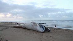 Martwe wieloryby na plaży. Zagadkowa śmierć morskich olbrzymów