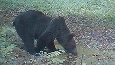 Niedźwiedzie przy wodopoju. Nagranie z Nadleśnictwa Baligród
