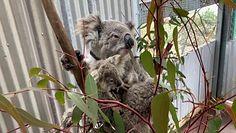 Koale w Australii. Ekolodzy biją na alarm