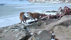 Rywalizacja o padlinę. Nagrali lisy w Bieszczadach