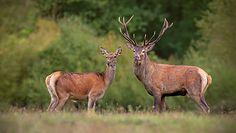 Nocne zaloty jeleni w lesie. Nagranie Nadleśnictwa Biłgoraj
