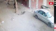 Bohaterska postawa kota. Uratował małego chłopca przed pogryzieniem